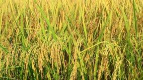 Campo de oro del arroz almacen de video