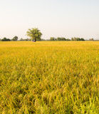 Campo de oro del arroz antes de la estación de la cosecha en Tailandia imagen de archivo libre de regalías