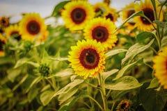 Campo de oro del girasol en el otoño Foto de archivo libre de regalías