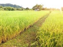 Campo de oro hermoso del arroz foto de archivo libre de regalías
