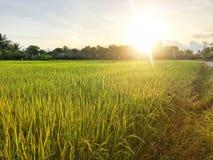 Campo de oro hermoso del arroz fotografía de archivo