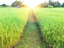 Campo de oro hermoso del arroz fotografía de archivo libre de regalías