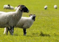 Campo de ovejas Imagenes de archivo