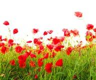 Campo de papoilas vermelhas Imagem de Stock