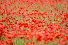 Campo de papoilas vermelhas fotografia de stock royalty free