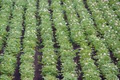 Campo de patatas florecientes fotos de archivo
