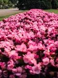 Campo de pequeñas flores rosadas imágenes de archivo libres de regalías