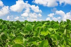 Campo de plantas de feijão de soja novas Fotos de Stock