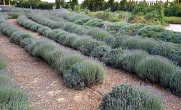 Campo de plantas ervais de florescência frescas da alfazema Imagens de Stock Royalty Free