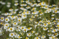Campo de plantas medicinales Foto de archivo libre de regalías
