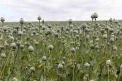 Campo de Poppy Seed Fotografía de archivo