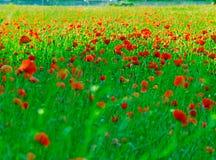 Campo de poppys Imagen de archivo libre de regalías