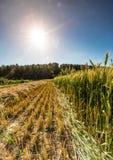 Campo de producir el trigo Imágenes de archivo libres de regalías