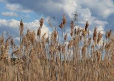 Campo de Reed Imagem de Stock