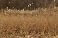 Campo de Reed Imagem de Stock Royalty Free