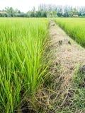 Campo de Ridge y del arroz Fotos de archivo