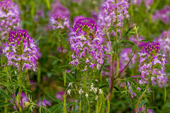 Campo de Rocky Mountain Bee Plants Foto de archivo libre de regalías