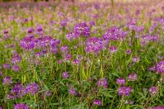 Campo de Rocky Mountain Bee Plants Imagen de archivo libre de regalías