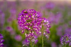 Campo de Rocky Mountain Bee Plants Imagenes de archivo