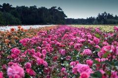 Campo de rosas Imagen de archivo libre de regalías