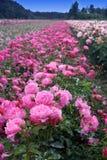 Campo de rosas Foto de archivo libre de regalías