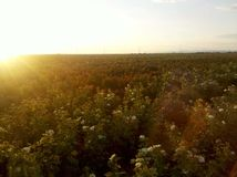 Campo de rosas en la puesta del sol imagen de archivo