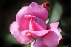 Campo de rosas rosadas foto de archivo
