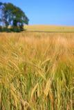 Campo de Rye Imagem de Stock Royalty Free