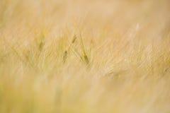 Campo de Rye Foto de Stock