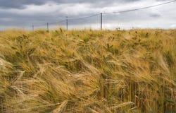 Campo de Rye bajo un cielo nublado dramático Fotos de archivo