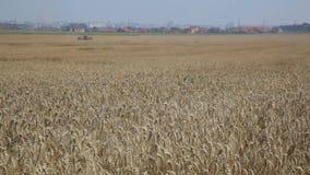 Campo de Rye Centeio cultivado da planta com os spikelets bonitos do ouro filme