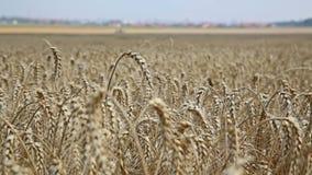 Campo de Rye Centeio cultivado da planta com os spikelets bonitos do ouro vídeos de arquivo