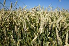 Campo de Rye Close up das orelhas de milho em um ryefield dinamarquês Imagens de Stock Royalty Free