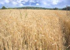 Campo de Rye debajo del cielo azul con las nubes en el primer del día de verano Fotos de archivo