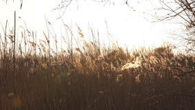 Campo de Rye durante una puesta del sol con el sol hermoso shinning en el fondo almacen de metraje de vídeo