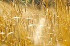 Campo de Rye em summer1 atrasado Imagem de Stock
