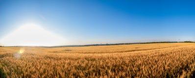 Campo de Rye em um dia ensolarado Foto de Stock Royalty Free