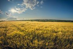 Campo de Rye em um dia de verão ensolarado imagens de stock royalty free
