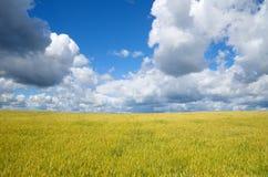 Campo de Rye en un cielo hermoso del fondo Imagenes de archivo