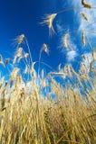 Campo de Rye en verano tardío Fotos de archivo