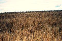 Campo de Rye listo para cosechar Imagen de archivo libre de regalías