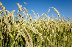 Campo de Rye Primer de espigas de trigo en un ryefield danés Fotografía de archivo libre de regalías