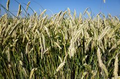 Campo de Rye Primer de espigas de trigo en un ryefield danés Imágenes de archivo libres de regalías