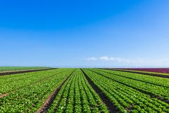 Campo de Salat con filas del salat fresco foto de archivo