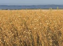 Campo de sementes de linho foto de stock