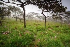 Campo de Siam Tulip Fotografía de archivo libre de regalías