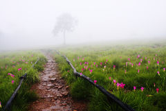 Campo de Siam Tulip com árvore só Foto de Stock
