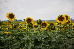 Campo de Sunflowers imagem de stock royalty free