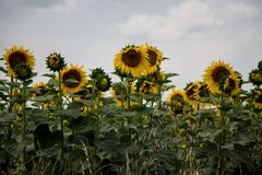 Campo de Sunflowers foto de stock royalty free