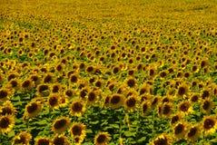 Campo de Sunflowers Foto de Stock